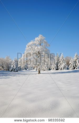 Solitary Tree Covered In Snow