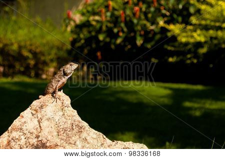 Lizard Sitting On A Rock Basking In The Sun