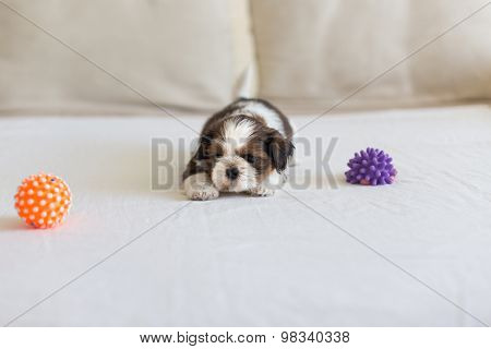 Little White Colored Shih-tzu With Toys