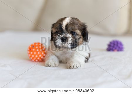 Little White Colored Shih-tzu Stare
