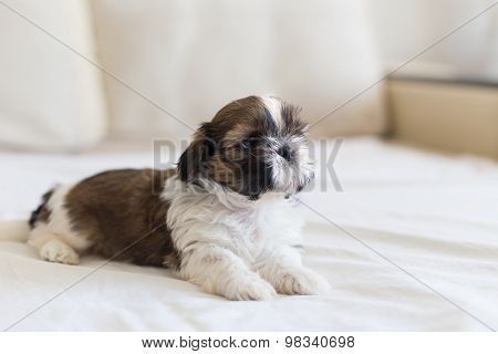 Little Colored Shih-tzu Pup Watching