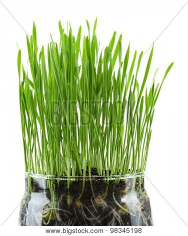 Green grass in transparent pot, isolated on white
