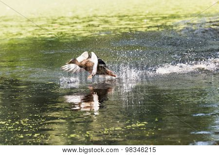 Duck Takes Off