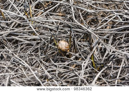 Snail Shell In The Scorched Grass