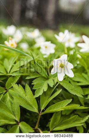 Anemone Nemorosa (wood Anemone, Windflower, Thimbleweed, Smell Fox, Anemonoides Nemorosa)