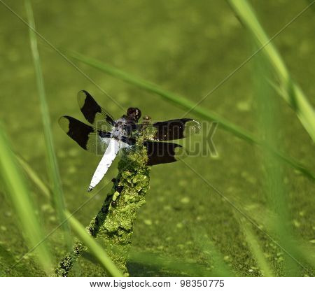 dragonfly in a swamp
