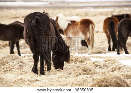 Herd Of Icelandic Ponies On A Meadow In Spring