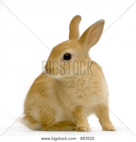 Conejo de espía