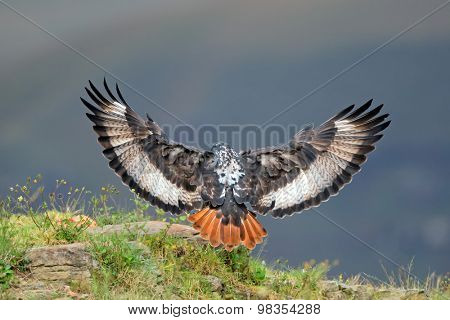 A jackal buzzard (Buteo rufofuscus) landing with open wings, South Africa
