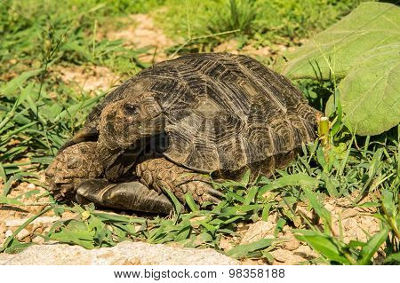 Asian Forest Tortoise