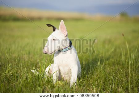 Bull terrier puppy playing in the grass