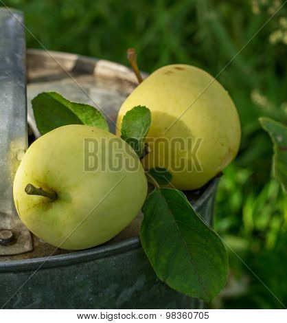 Two apples ripening white varieties in the garden