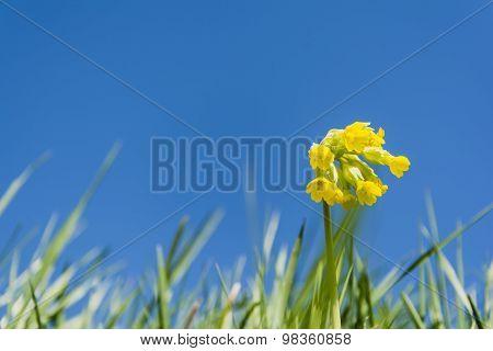 Blooming Flowers Primula Elatior (oxlip, True Oxlip)