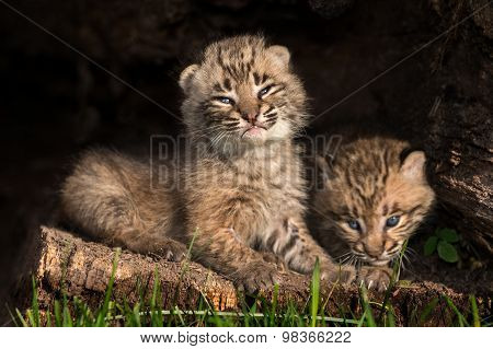 Baby Bobcat Kittens (lynx Rufus) In Hollow Log