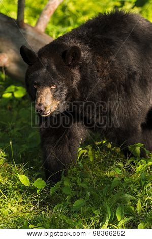 Adult Female Black Bear (ursus Americanus) Walks Left