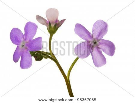 light pink forget-me-not flower isolated on white background