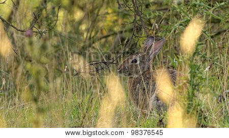 European Rabbit in tall grass