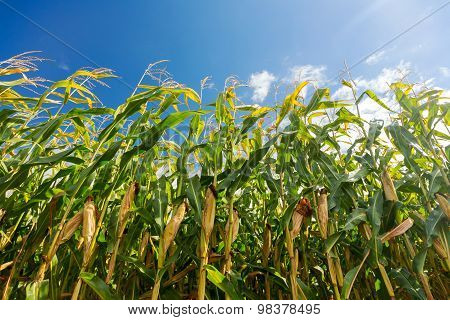 Corn Field, Corn On The Cob. Selective Focus