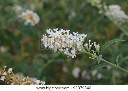 White flower cluster against green foliage background