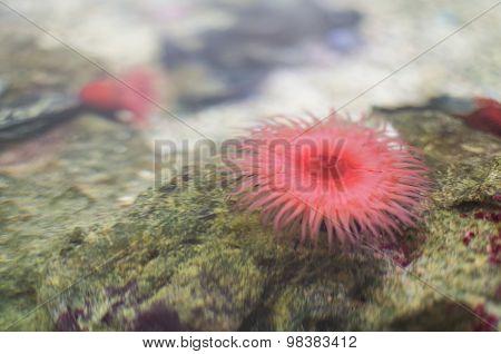 Pink Beadlet Anemone