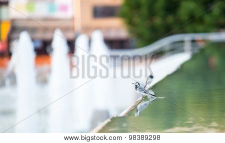 The white wagtail