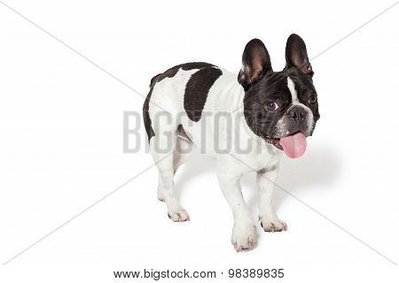Cute French Bulldog In A Studio
