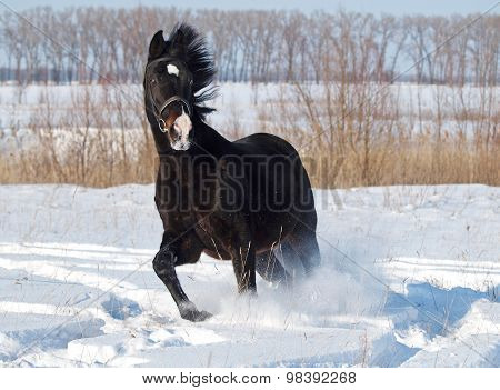 A  beautiful  stallion hurries  on deep snow