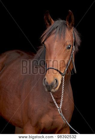 Portrait of bay sporting horse