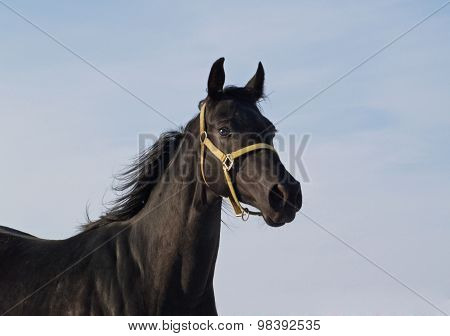 Thoroughbred mare on sky background