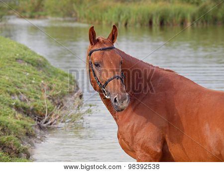 Portrait of  chestnut stallion