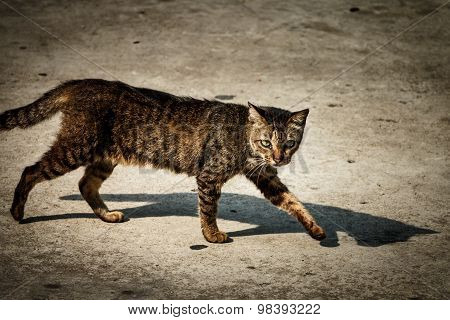 The Homeless Cat Is Walking On Street, It's Look Like A Tiger.