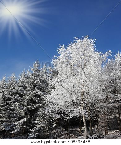 Snowy forest in the Alps. Sunny day at Christmas