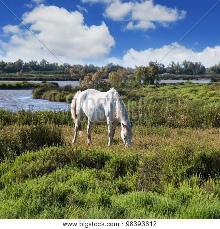 White horse grazing in  meadow near the lake. Rhone Delta, Provence. Summer evening in the Camargue national park
