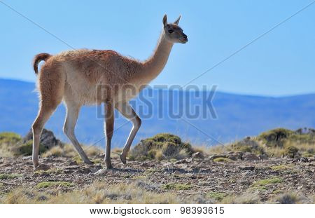 Cold summer in Chile. National park to Torres del Paine - a graceful rack wild guanacos