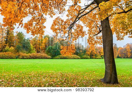 Beautiful Maple With Yellow Leaves In The Park