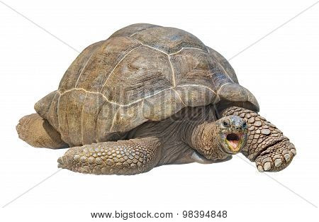 Seychelles Giant Tortoise Isolated On White Background