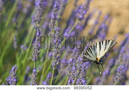 Old World swallowtail on blooming Lavender