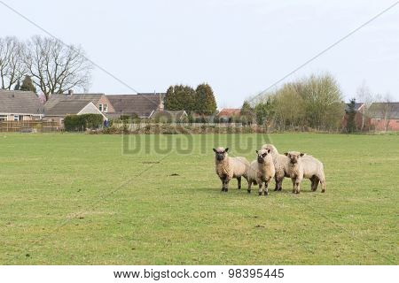 Sheep in Dutch landscape with farm houses
