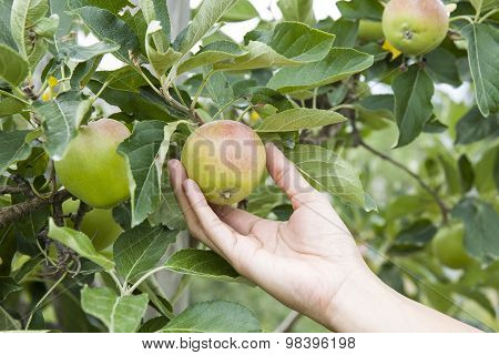 Hand Picking an Apple From A Tree