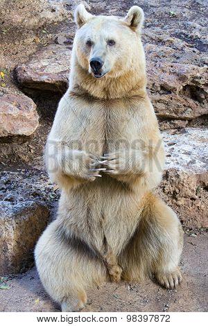 Syrian Bear