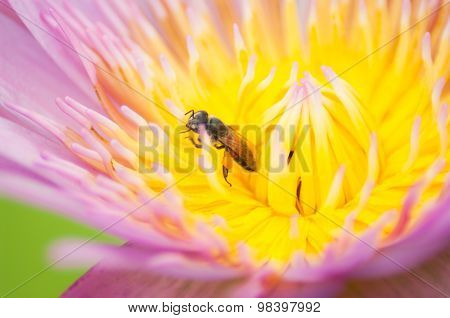 Bee On A Lotus Flower