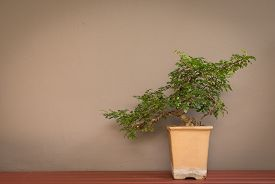 stock photo of bonsai tree  - bonsai tree in pot on wall background vintage style color tone - JPG