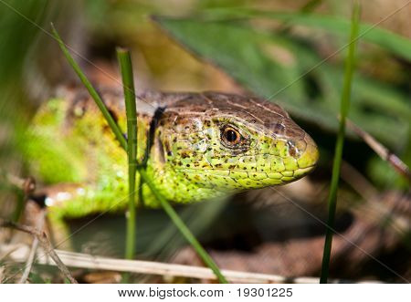 Macro Of A Lizard Outdoor
