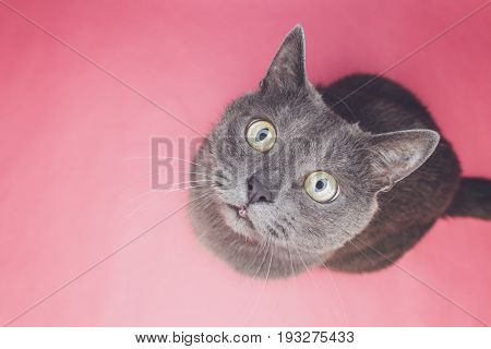 poster of grey cat sitting. grey cat on the pink background. cute grey cat looking at camera. funny grey cat top view