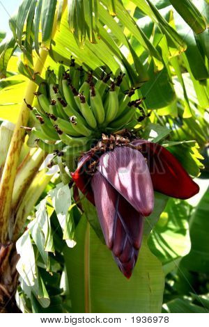 Banana Plant In Paia Maui