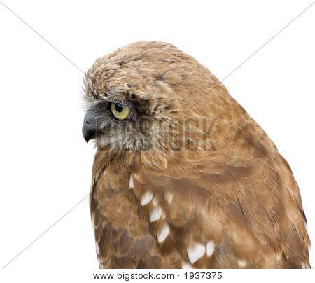 Zealand Owl (3 Years)