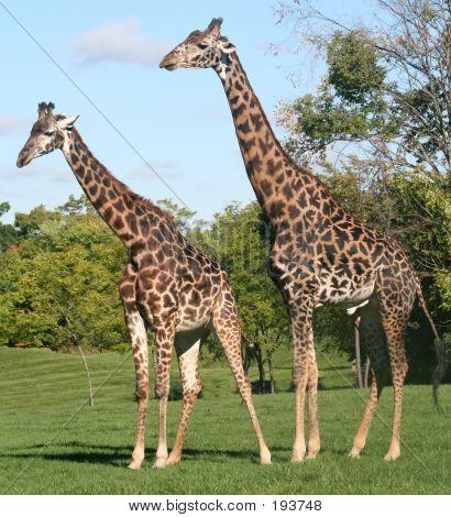 Giraffe Couple