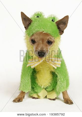 a tiny chihuahua dressed up in a frog outfit