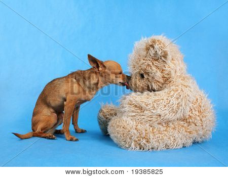 a tiny chihuahua kissing a teddy bear
