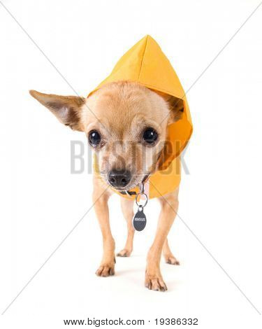 a tiny chihuahua dressed in a raincoat
